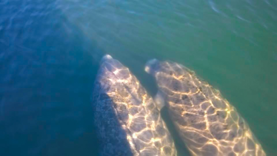 manatees-swimming-together