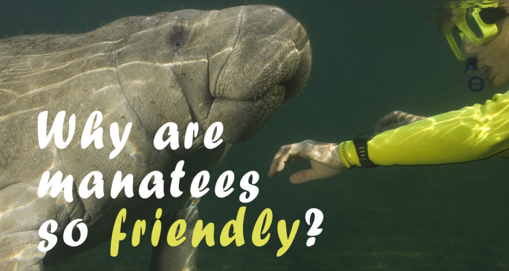 Friendly Manatee with Diver
